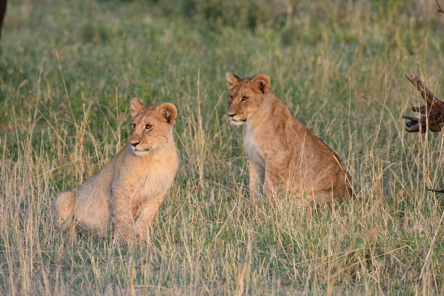 Serengeti safari exploring the area around Lobo up to ...  Man Eaten By Lion In Front Of Family