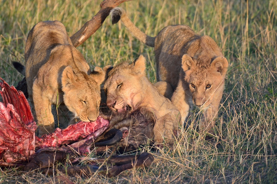 Footage Man Eaten Alive by Lions - YouTube  Man Eaten By Lion In Front Of Family