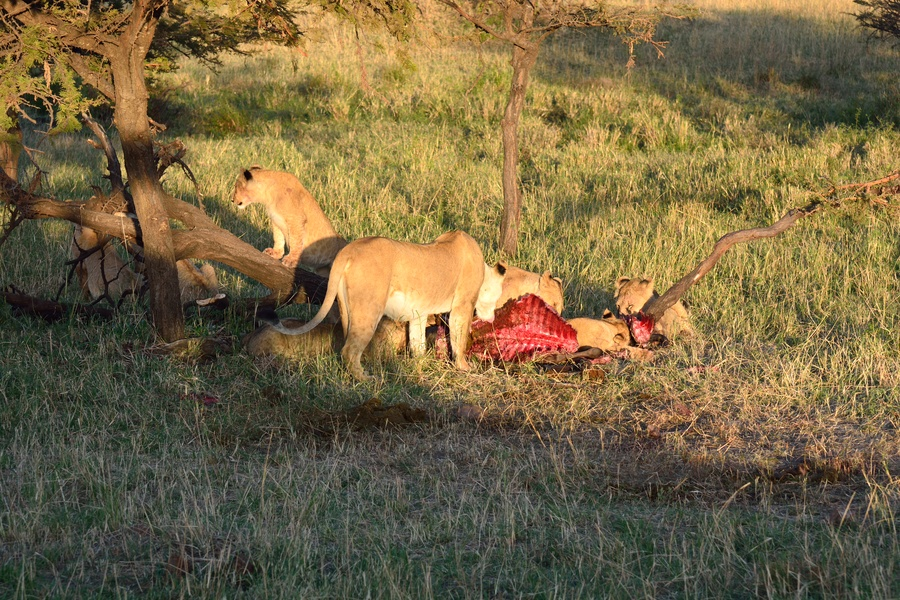Lion attack Man in Circus-OMG Moments - YouTube  Man Eaten By Lion In Front Of Family